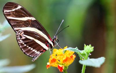 Mariposa presumida