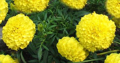 Tagetes erecta, la flor o 'Clavellón' de la batalla