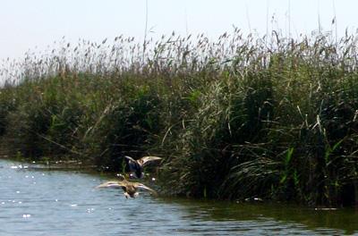 Aves en la Albufera