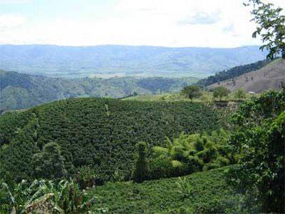 Valle cultivado de plantas de cafe