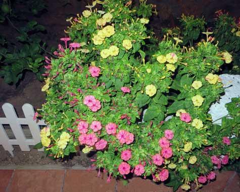 Don Pedros (Flores)