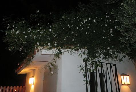 Jazmines (Planta)