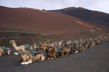 (Camellos)