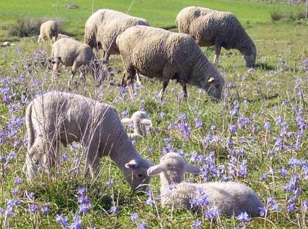 (Rebaño de ovejas en pastoreo libre)