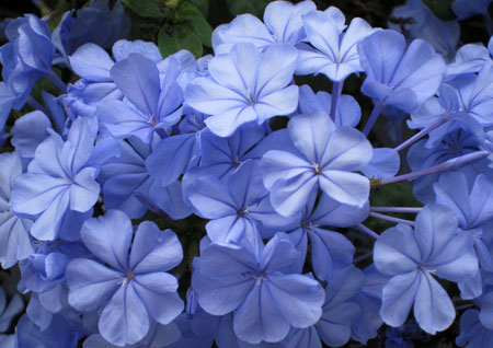Flores de azulado color exultantes de belleza
