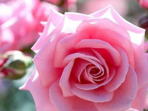 La rosa, rosa