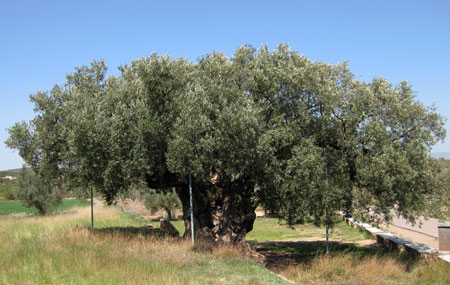 La Morruda olivera milenaria