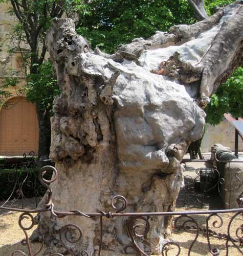 """En Soria, el tronco del """"Olmo Seco"""" del poema de Antonio Machado"""